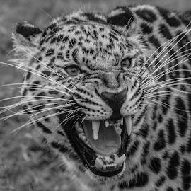 Grumpy cat by Garry Chisholm - Black & White Animals ( big cat, garry chisholm, predator, nature, black and white, wildlife, leopard )