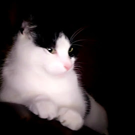 Pooky by Redski Pictures - Animals - Cats Portraits ( cat, white, black, portrait, animal )