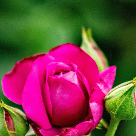 Blooming roses  by Shanna L Christensen - Flowers Flower Buds ( rose buds, flowers, blooming, beauty, nature, purple, rose )