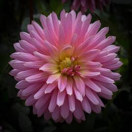 Just Pink by Janet Marsh - Flowers Single Flower ( pink, dalhia )