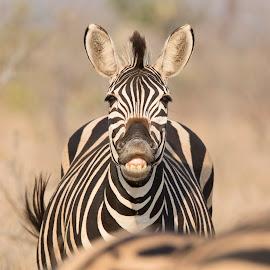 Smiling Zebra  by Chris Kotze - Animals Other ( #animal, #zebra, #smile, #stripes )