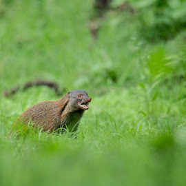 Mongoose by Shereena Vysakh - Animals Other Mammals ( nature, mongoose, wildlife, india, mammal )