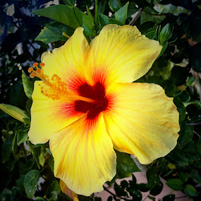 Yellow Hibiscus  by Charline Ratcliff - Flowers Single Flower ( orange, red, hibiscus, nature, single flower, plants, yellow, close up, flower,  )