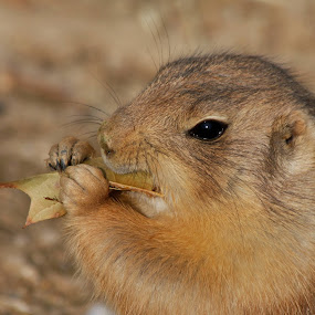 Prairie Dog Eating Leaf by Vicki Pardoe - Animals Other Mammals ( prairie dog, zoo, lunch, leaf, mammal )