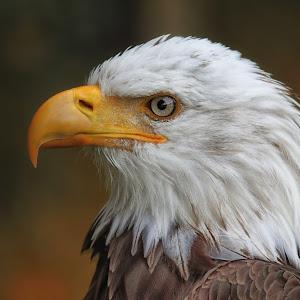 Weisskopfseeadler - Haliaeetus leucocephalus - American Eagle 8875.jpg