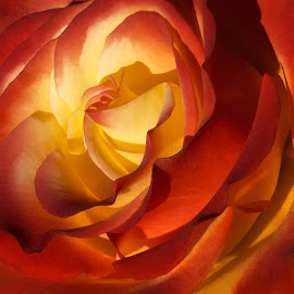 Rosa by Jomabesa Jmb - Flowers Single Flower ( flores, naturaleza, rosa,  )