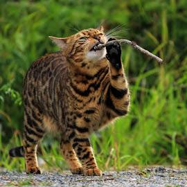 Kokos is having some fun! :)  by Jane Bjerkli - Animals - Cats Playing