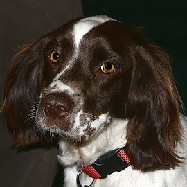 Slightly Puzzled Spaniel by Chrissie Barrow - Animals - Dogs Portraits ( springer spaniel, pet, collar, white, fur, ears, brown, dog, young, nose, portrait, eyes )
