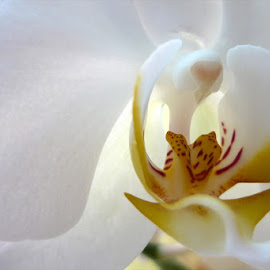 White orchid by Helena Moravusova - Abstract Macro ( macro, orchid, white, flower )