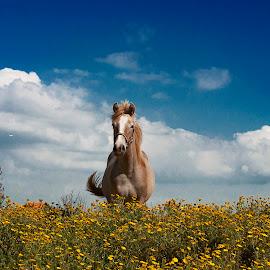 by Amir Vejsilagic - Animals Horses ( sky, blue, horse, running, flower )