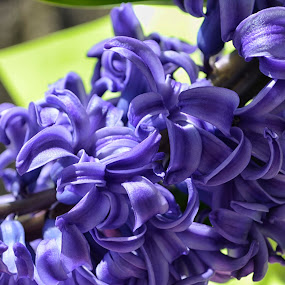 by Megan Donovan - Nature Up Close Gardens & Produce ( plant, cestmoi, cest moi artful imaging, purple, color, blue, megan donovan, outdoor, bloom, hyacinth, nikon, garden, blue jacket )