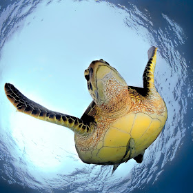Green Turtle in Snells Window.jpg