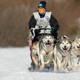 Mush go! by Bencik Juraj - Sports & Fitness Snow Sports ( sled dogs, winter, mushing, dog, running )