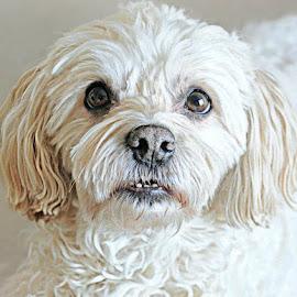 t.face by B Lynn - Animals - Dogs Portraits ( lighting., mutt., light., white., whites. )