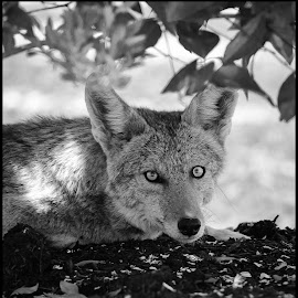 Coyote by Dave Lipchen - Black & White Animals ( coyote )
