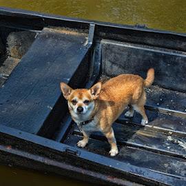 Elvis by Deborah Russenberger - Animals - Dogs Portraits ( shiba inu, boat, chihuahua )