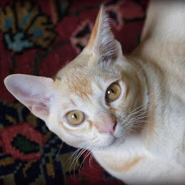 Tom by Caroline Beaumont - Animals - Cats Portraits ( cat, kitten, red, burmese, eyes )