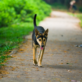 I am coming towards you............ by Ajwad Mohimin - Animals - Dogs Running ( canon, cool, bangladesh, dogs, green, tired, road, yellow, dog, canon eos, black )