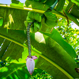 Wild Banana by Laurie Crosson - Nature Up Close Gardens & Produce ( wild banana, natural, costa rica, bananan )