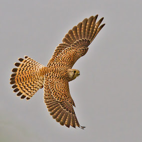 KESTREL in flight by Mohan Munivenkatappa - Animals Birds