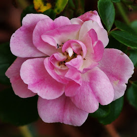 Pink Flower by Sarah Harding - Novices Only Flowers & Plants ( macro, nature, novices only, pink, flower )