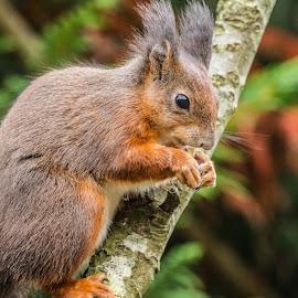 Squirrel by Garry Chisholm - Animals Other Mammals ( garry chisholm, red, nature, british wildlife, squirrel )