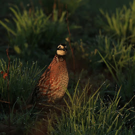 Quail by Janet Jordan - Novices Only Wildlife ( bird, grass, quail, dewdrops, feathers )