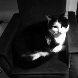 Cat by Phillip Kenworthy - Animals - Cats Portraits ( chair, cat, black and white, bed, animal )