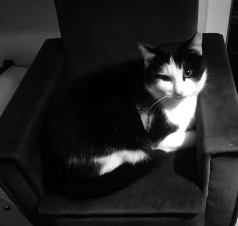 Cat by Phillip Kenworthy - Animals - Cats Portraits ( chair, cat, black and white, bed, animal,  )