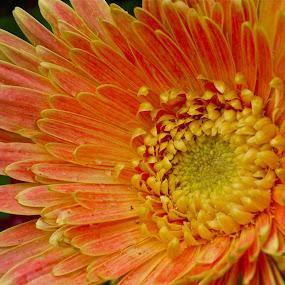 Orange flower by Rozi Rahman - Nature Up Close Flowers - 2011-2013 ( orange, golden spiral, flower )
