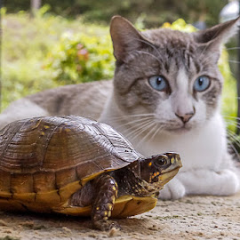 Slow day by Jim Harris - Animals - Cats Playing ( cat, friends, pair, friendship, turtle )