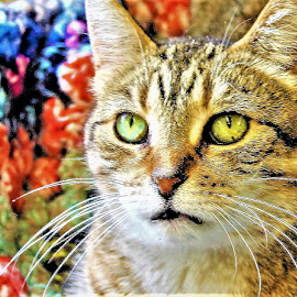 Lacey by Linda    L Tatler - Animals - Cats Portraits