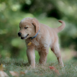 Tesla watching by Greg Varney - Animals - Dogs Puppies ( residence, grass, tesla, puppy, 8 weeks )