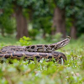 Burmese python by Pankaj Biswas - Animals Reptiles ( python, nature, ecosystem, wildlife, forest, reptile )