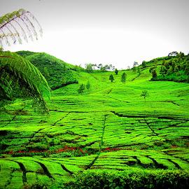 Indo Tea garden by Ariniwinda Hapsari - Landscapes Travel ( nature, indonesia, green, trees, travel, tea, landscape, flowers )
