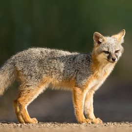 Grey Fox  by Eva Lee - Animals Other ( wild, fox, hurter, park, wildlife, grey fox, close up, natural, animal )