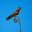 Andorinha-serradora(Southern Rough-winged Swallow)