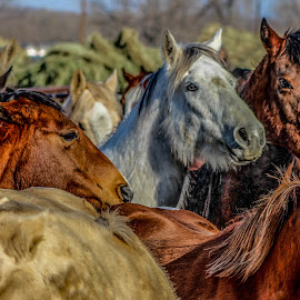 the herd by Jacklynn Matthews - Animals Horses ( hdr, 03-01-15, herd, horse, western )