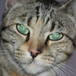 Cat by Louisa Botha - Animals - Cats Portraits ( cat, pet, closeup, portrait, animal )