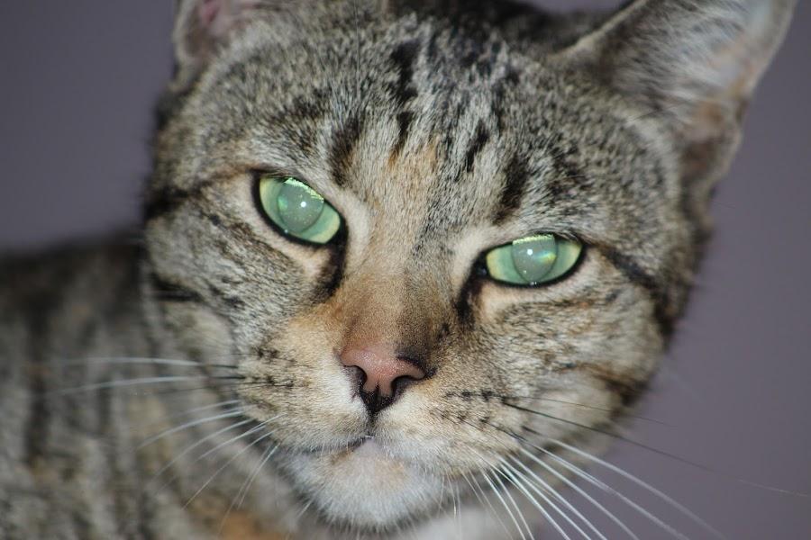 Cat by Louisa Botha - Animals - Cats Portraits ( cat, pet, closeup, portrait, animal,  )