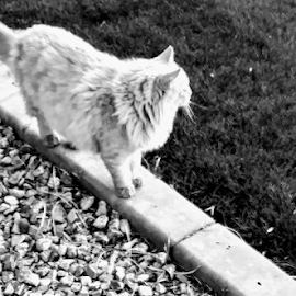 The Prowl by Carlo McCoy - Animals - Cats Kittens ( cats, blackandwhite, outside, white cats, black&white photography )