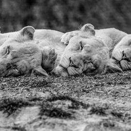The lions sleep tonight by Garry Chisholm - Black & White Animals ( lion, nature, kent, garrychisholm, smarden, big cat sanctuary,  )