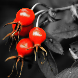 Rosehips by Glenda Clausen - Nature Up Close Trees & Bushes ( b&w, red, shine, leaves, rosehips )