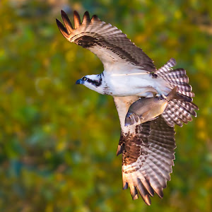 Osprey with Fish Banking Away.jpg