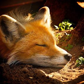 Sleepy Fox by Dustin Wawryk - Animals Other Mammals