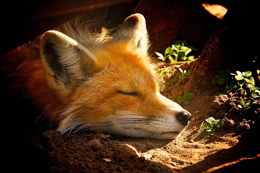 Sleepy Fox by Dustin Wawryk - Animals Other Mammals