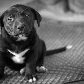 Rex by Vasi Pilca - Animals - Dogs Puppies