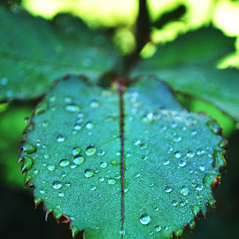 dew drops by Scott Stolli - Nature Up Close Leaves & Grasses ( leaf, rain )