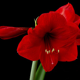 amarillys by Hale Yeşiloğlu - Flowers Flower Gardens ( red, nature, amaryllis, nature close up, flower )