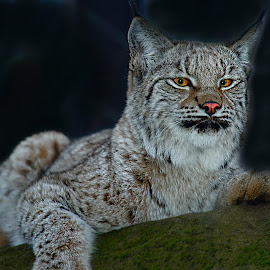 Baby lynx by Gérard CHATENET - Animals Lions, Tigers & Big Cats